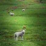 Mouton - Ecosse - blog voyages