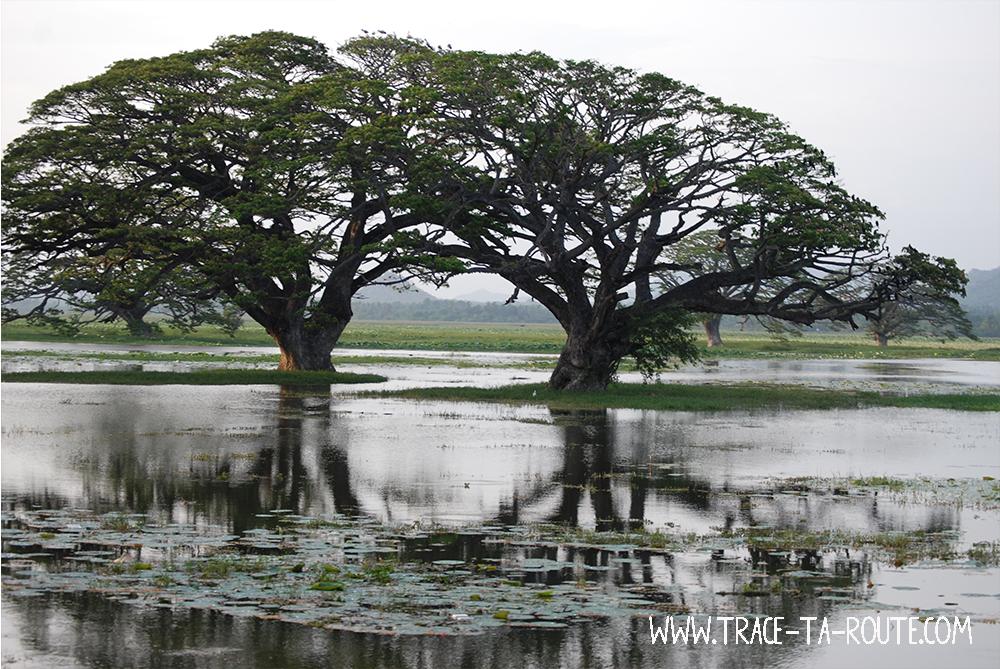 Arbres dans le lac à Tissamaharama, Sri Lanka
