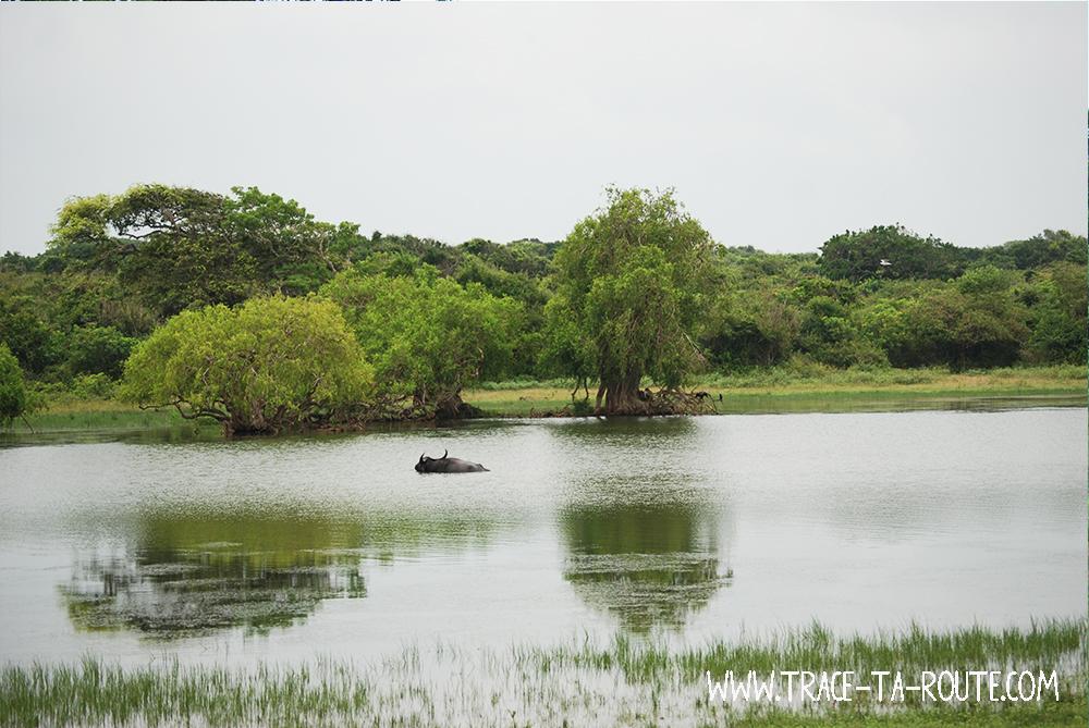 La baignade du buffle à Yala, Sri Lanka