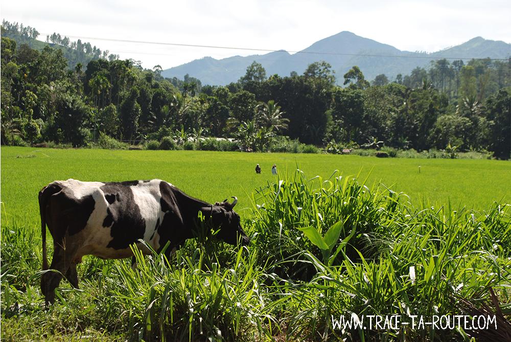 La vache et la rizière à Ella, Sri Lanka