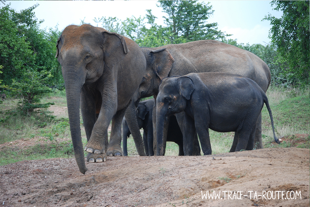 Famille éléphants à Yala, Sri Lanka