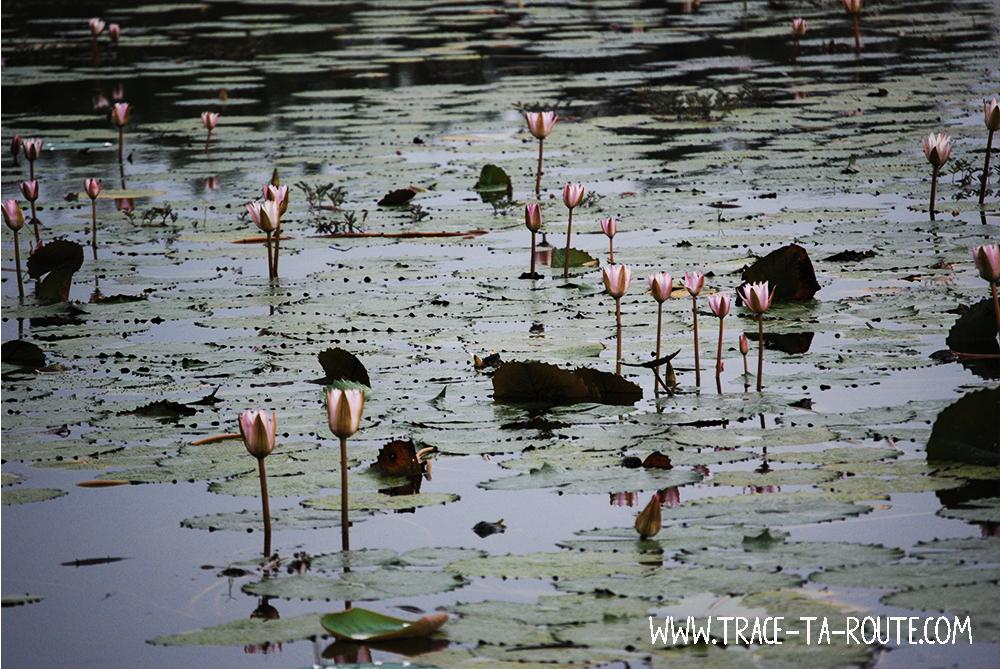 Lac Et Fleurs De Lotus Yala Sri Lanka