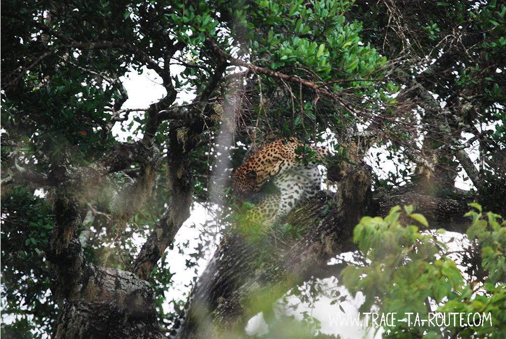 Léopard dans un arbre à Yala, Sri Lanka
