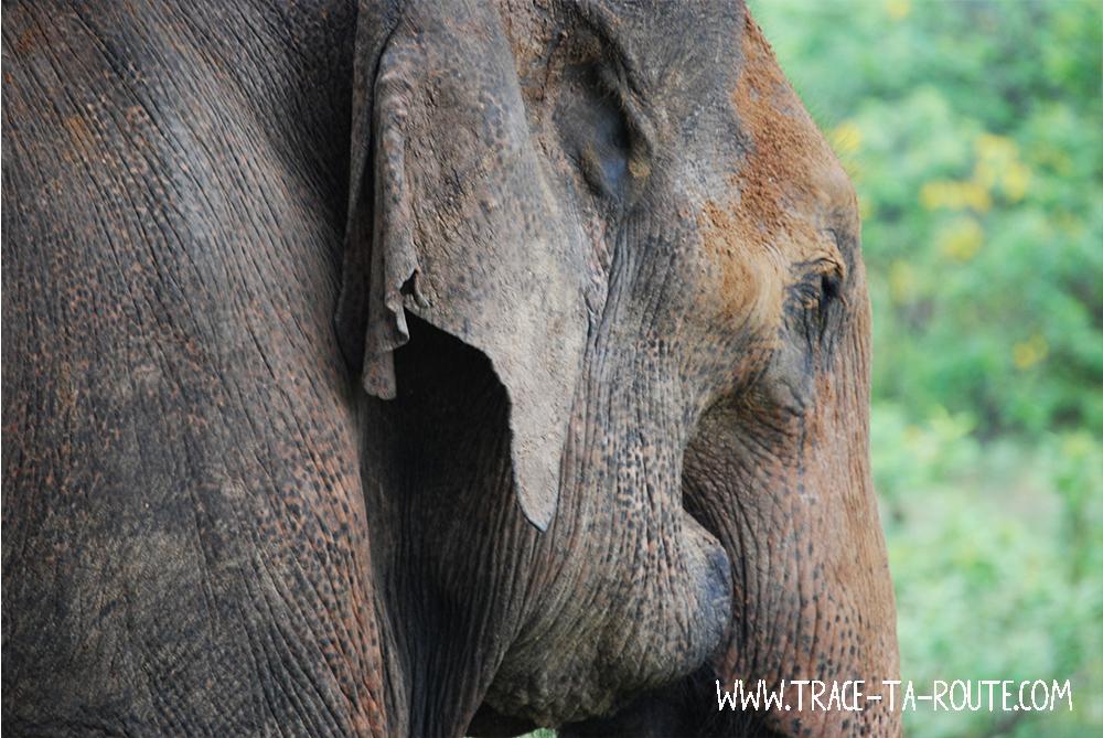 Eléphant au Sri Lanka