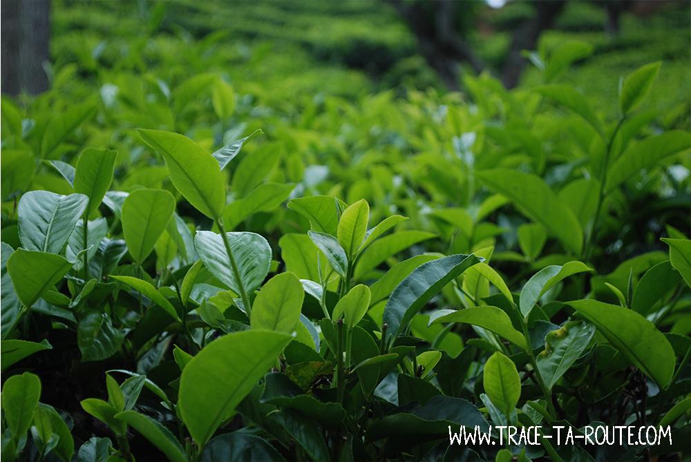 Thé du Sri Lanka