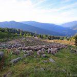 Troupeau de brebis au Chalet du Gleyzin - Les Sept Laux Belledonne