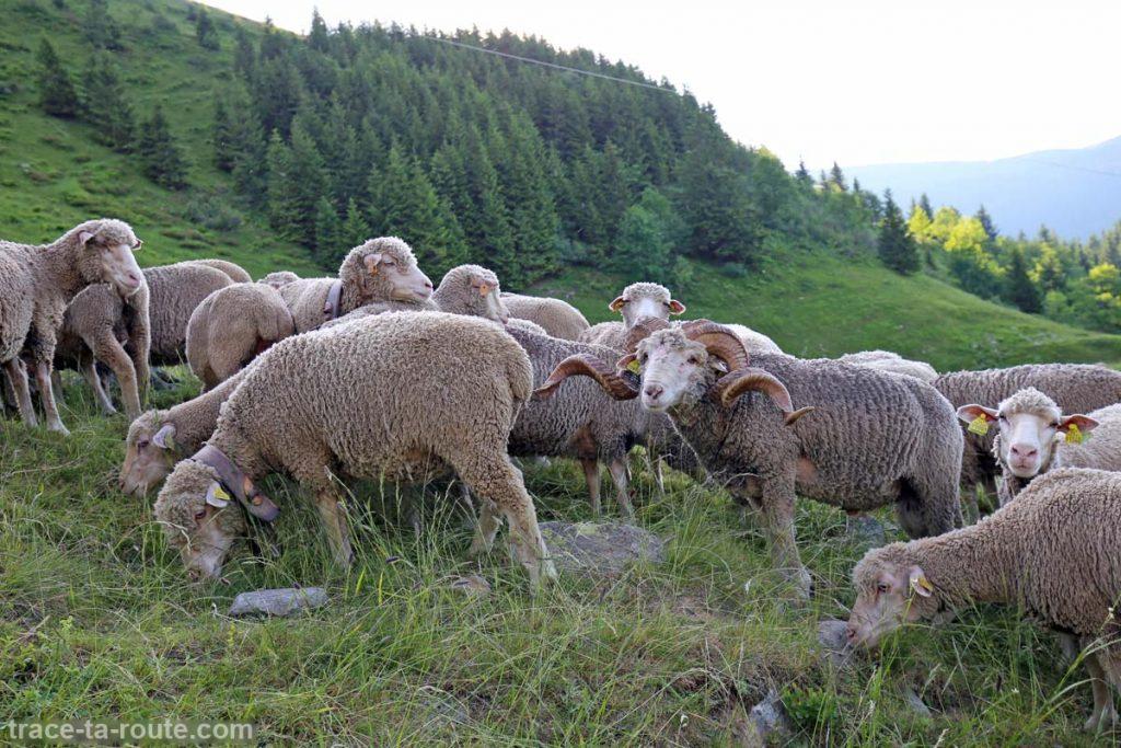 Troupeau de brebis et bélier au Chalet du Gleyzin - Les Sept Laux Belledonne