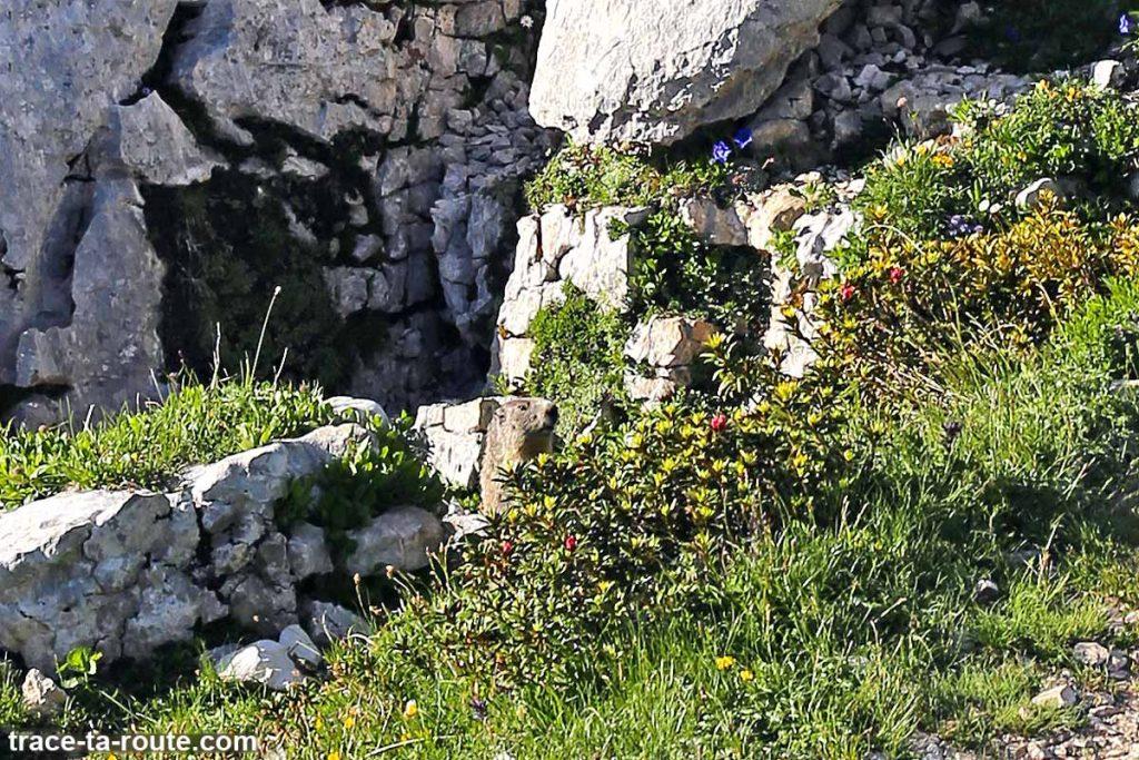 Marmotte sur le Plateau de la Dent de Crolles