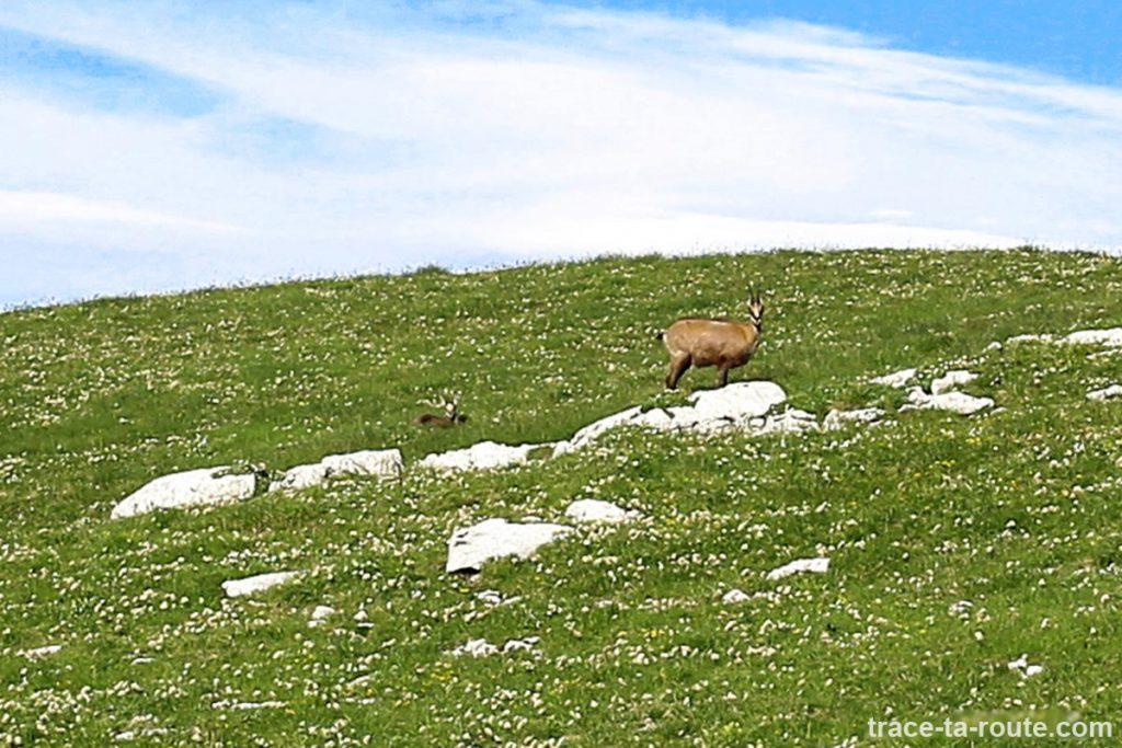 Chamois et son cabri sur le Plateau de la Dent de Crolles