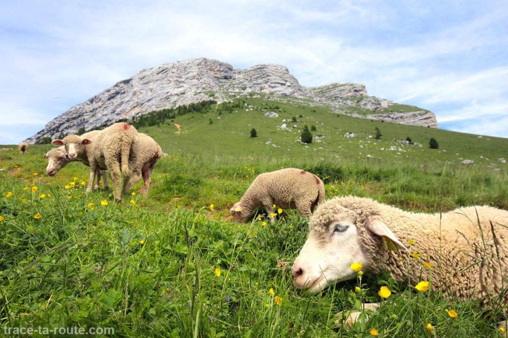 Moutons au Col des Ayes à la Dent de Crolles