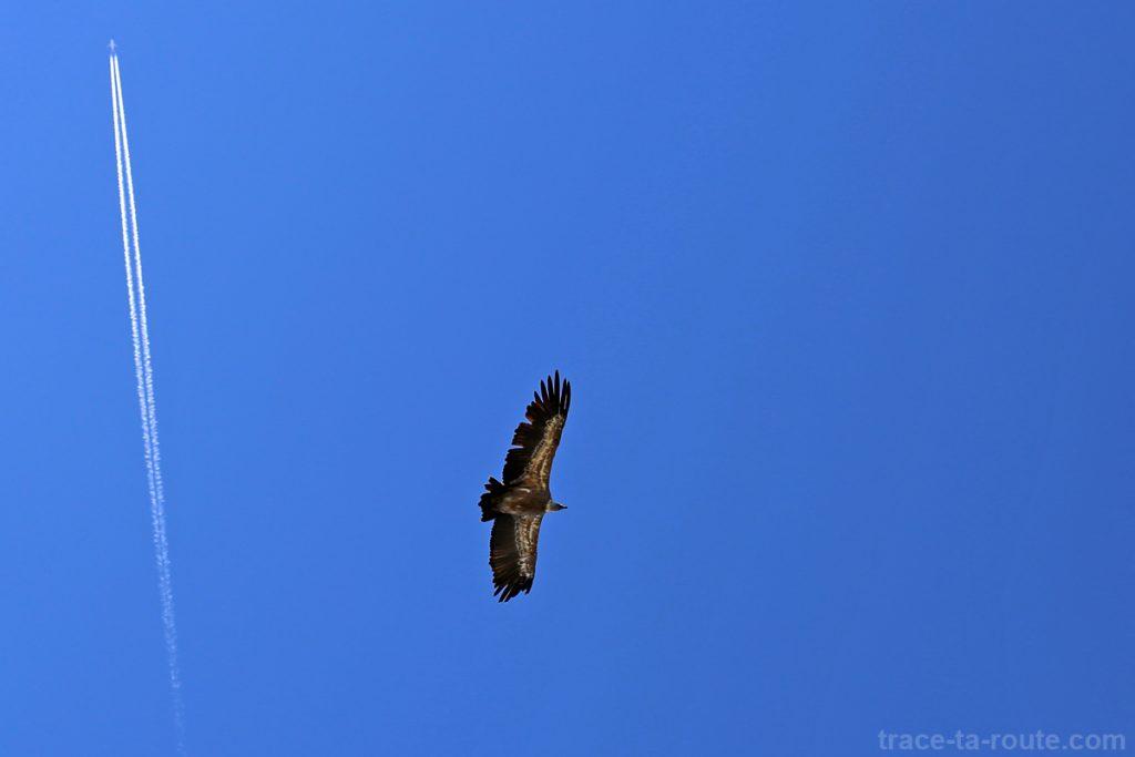 Vautour fauve en vol au-dessus du Mont Charvin