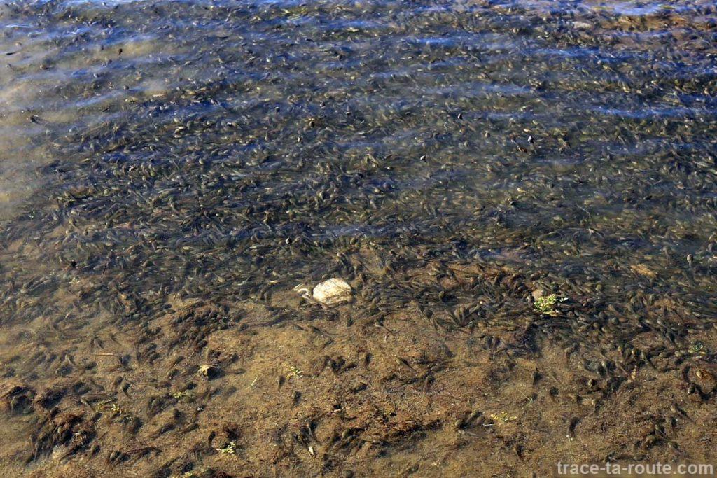 Têtards au Lac du Mont Charvin