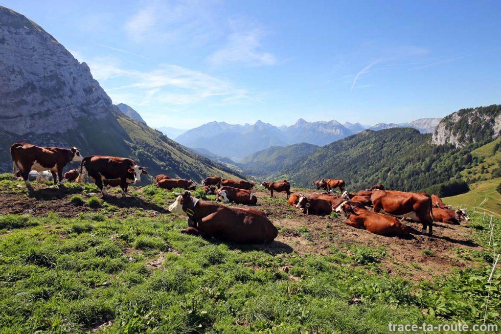 Vaches dans les alpages de La Tournette