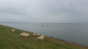 moutons ile de Sylt