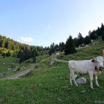 Vaches dans sur l'alpage de l'Anglettaz au Parmelan - Aviernoz