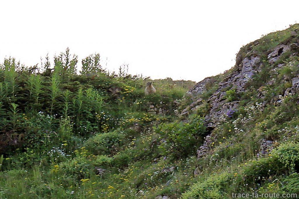 Marmotte sur le Plateau de l'Alpe
