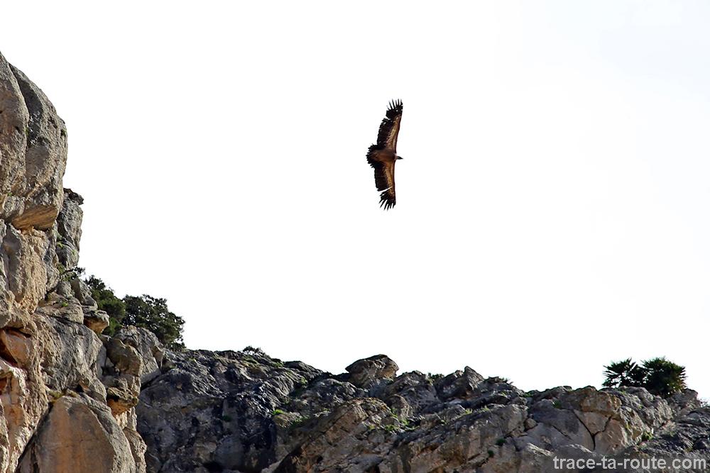 Vautour fauve au-dessus du Caminito del Rey - Ardales, Malaga, Andalousie, Espagne