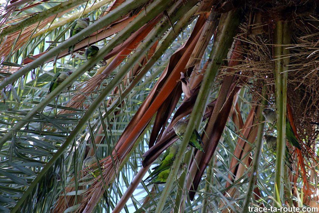 Perruches sur les palmiers du Paseo España, Malaga