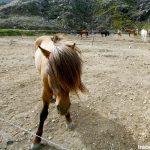 Cheval islandais à Landmannalaugar