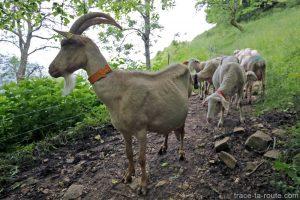 Chèvre et brebis de la Ferme du Nivolet sur le sentier de randonnée à la Croix du Nivolet par le Pas de l'Échelle depuis Lovettaz