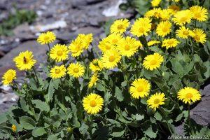 Doronics à grandes fleurs au Col des Bataillères sur le Tour du Mont Thabor