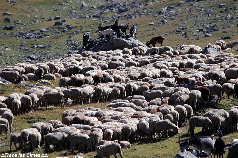 Alpage de brebis et de chèvres au Muandes sur le Tour du Mont Thabor
