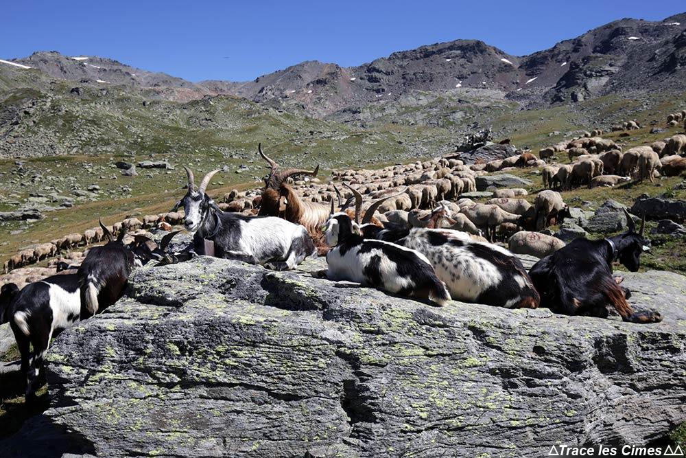 Alpage de chèvres et de brebis au Muandes sur le Tour du Mont Thabor
