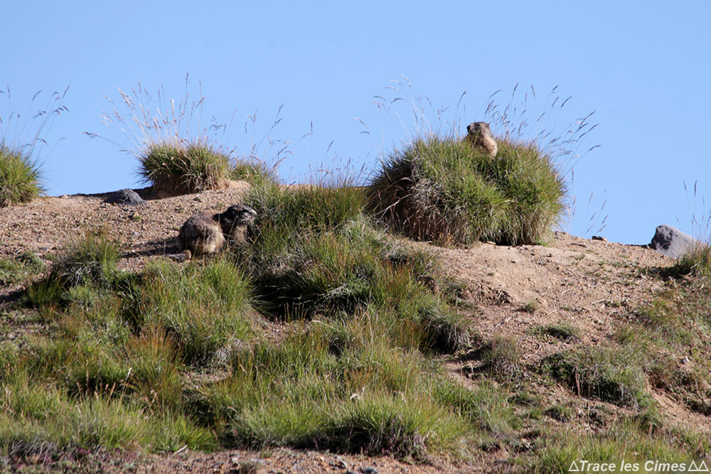 Marmottes au bord du Lac Rond - randonnée trek tour du Mont Thabor