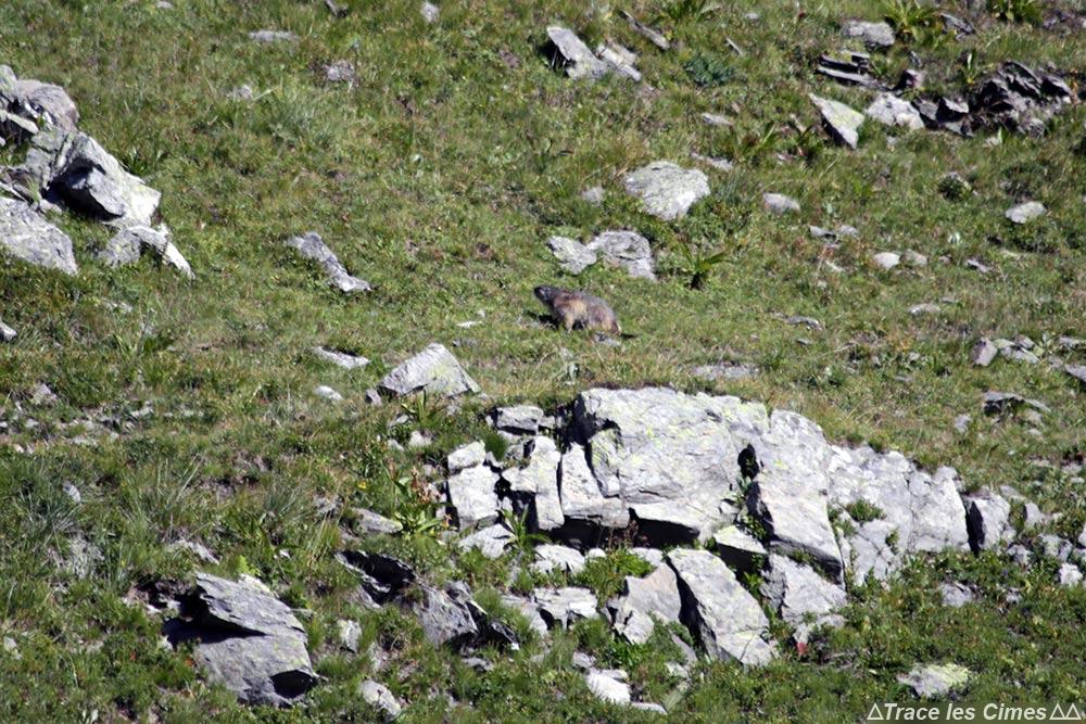 Marmotte - Combe de l'Aiguille Noire - Tour du Mont Thabor