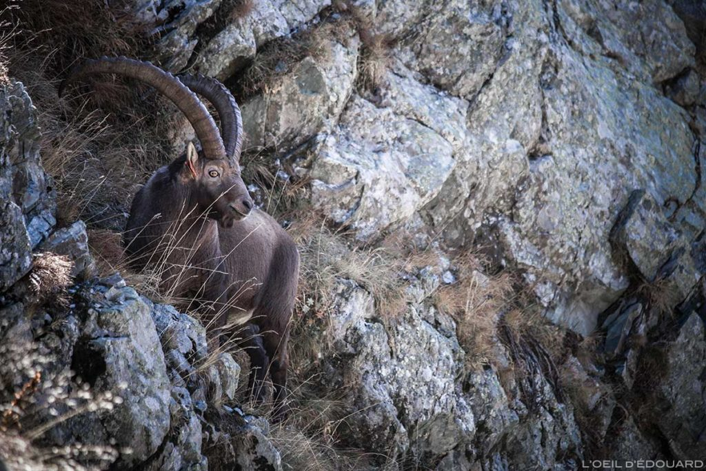 Bouquetin Lacs du Vénétier Belledonne Isère Alpes Outdoor French Alps Mountain Wild Animal Ibex