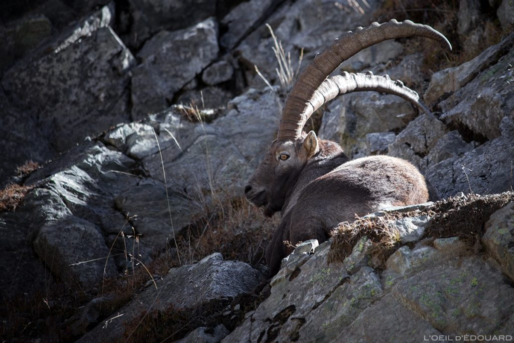 Bouquetin Lacs du Vénétier Belledonne Isère Alpes Outdoor French Alps Mountain Wild Animal Ibex