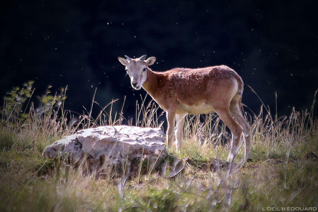 Agneau, jeune mouflon dans le Massif de la Chartreuse