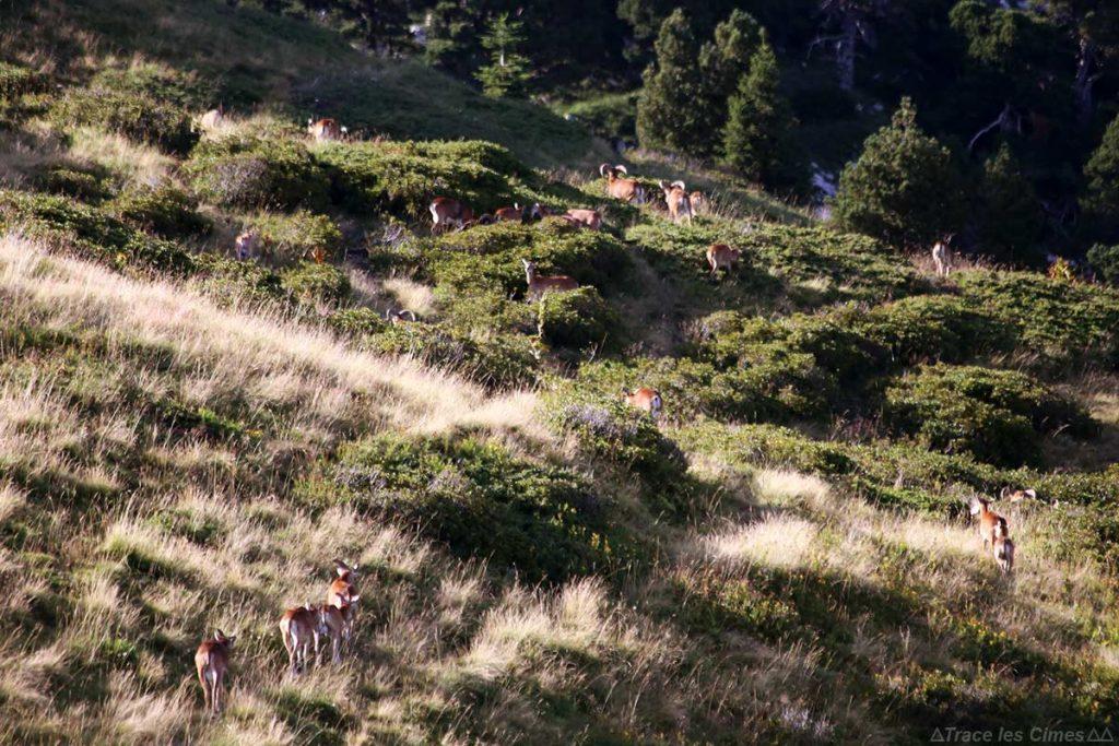 Troupeau de mouflons dans le Massif de la Chartreuse