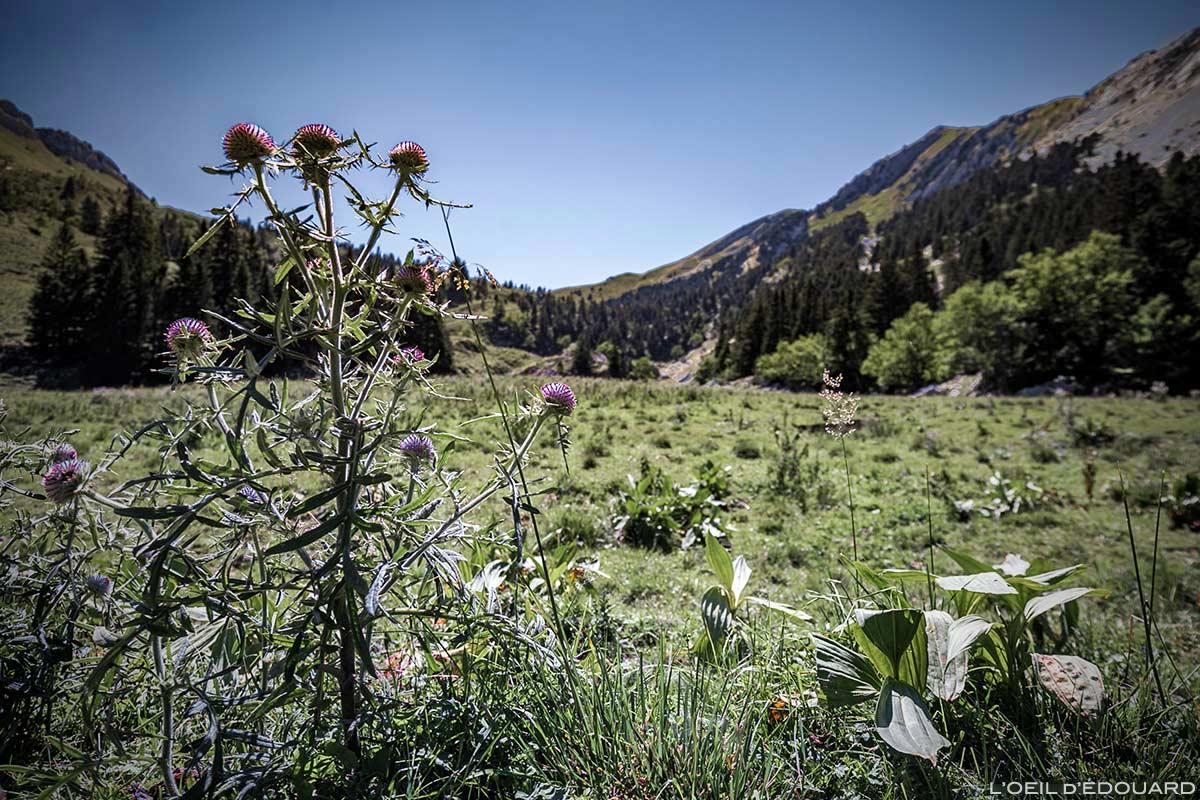 Chardon en fleurs dans La Prairie vers le Col de la Sure - Massif de la Chartreuse