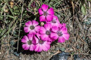 Oeillets des glaciers, fleur de montagne dans le Queyras (Hautes-Alpes)