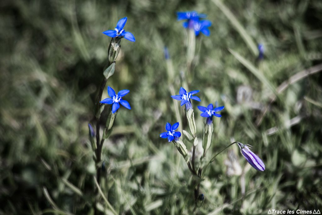 Gentianes des neiges, fleur de montagne dans le Queyras (Hautes-Alpes)