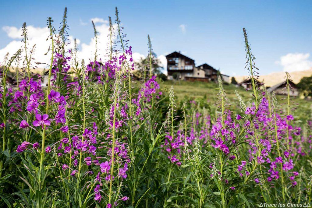 Épilobes en épi à Saint-Véran, Qeyras (Hautes-Alpes)