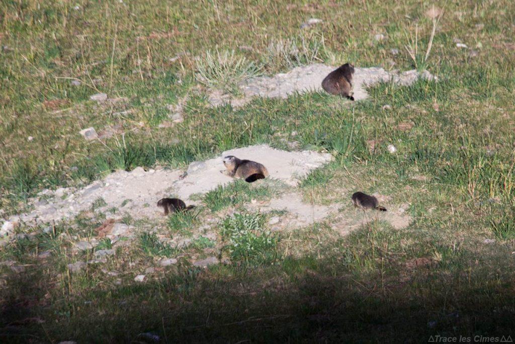 Marmottes au soleil près de Saint-Véran, Queyras (Hautes-Alpes)