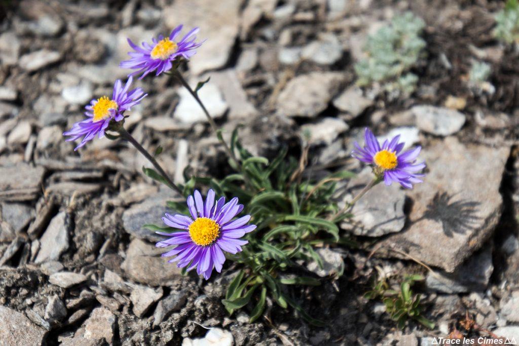Fleur de montagne : Aster - Sur la Crête de Gilly, Abriès, Queyras, Hautes-Alpes
