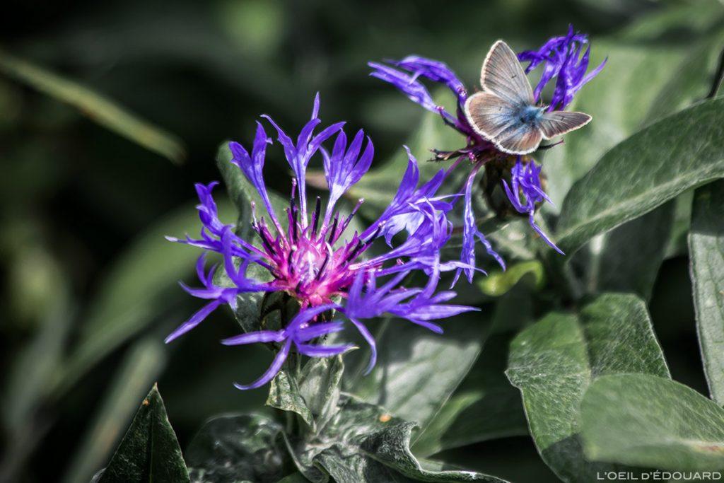 Fleur de montagne : Bleuet des Montagnes et papillon Argus - vers Abriès, Queyras, Hautes-Alpes