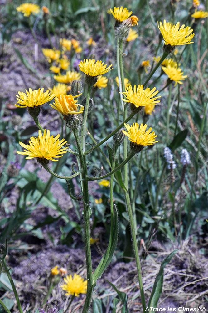 Fleur de montagne : Épervière - vers Abriès, Queyras, Hautes-Alpes