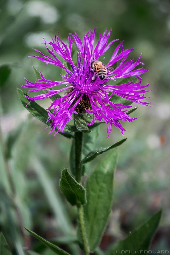 Fleur de montagne : Centaurée et une abeille qui butine - vers Abriès, Queyras, Hautes-Alpes