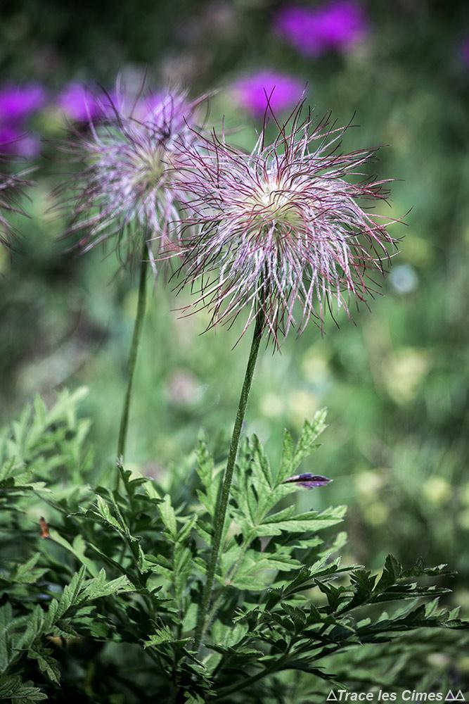 Fleur de montagne : Anémone des Alpes (Pulsatilla alpina) - vers Abriès, Queyras, Hautes-Alpe