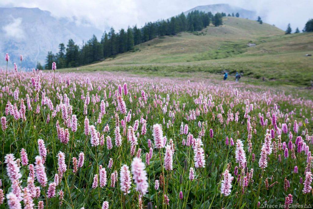 Prairie de Renouée Bistorte sous la Collette de Gilly - Queyras, Hautes-Alpes