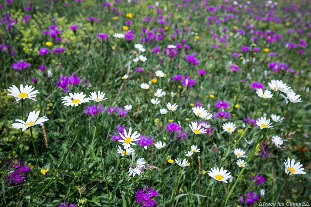 Prairie de fleurs de montagne (Marguerite des Alpes et Centaurée) sous la Collette de Gilly - Queyras, Hautes-Alpes