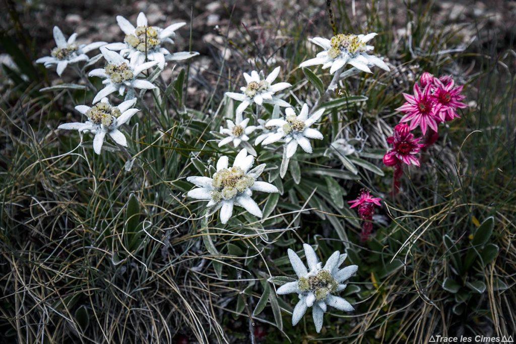 Edelweiss et joubarbe (fleurs de montagne) - Tour du Queyras GR 58, Hautes-Alpes