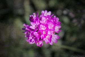 Armérie des Alpes (fleur de montagne) - Queyras, Hautes-Alpes
