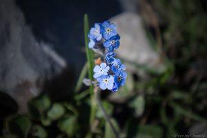 Myosotis (fleur de montagne) - Queyras, Hautes-Alpes