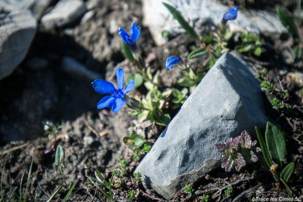 Gentiane (fleur de montagne) - Queyras, Hautes-Alpes