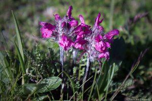 Pédiculaire verticillée (fleur de montagne) - Queyras, Hautes-Alpes